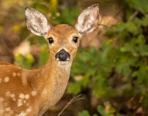 Fawn in the Woods by Sean Leahy